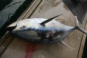 Thunfisch: Sportfischer im Hafen